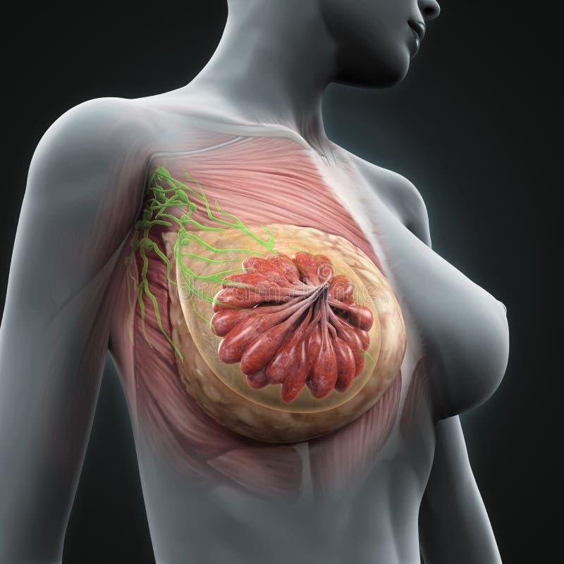 Женская анатомия груди бесплатная иллюстрация