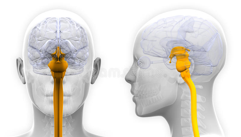 Женская анатомия мозга спинного мозга - изолированная на белизне иллюстрация вектора