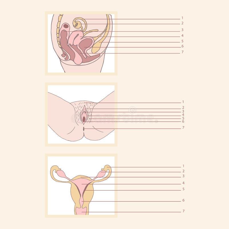 Женская воспроизводственная система иллюстрация вектора