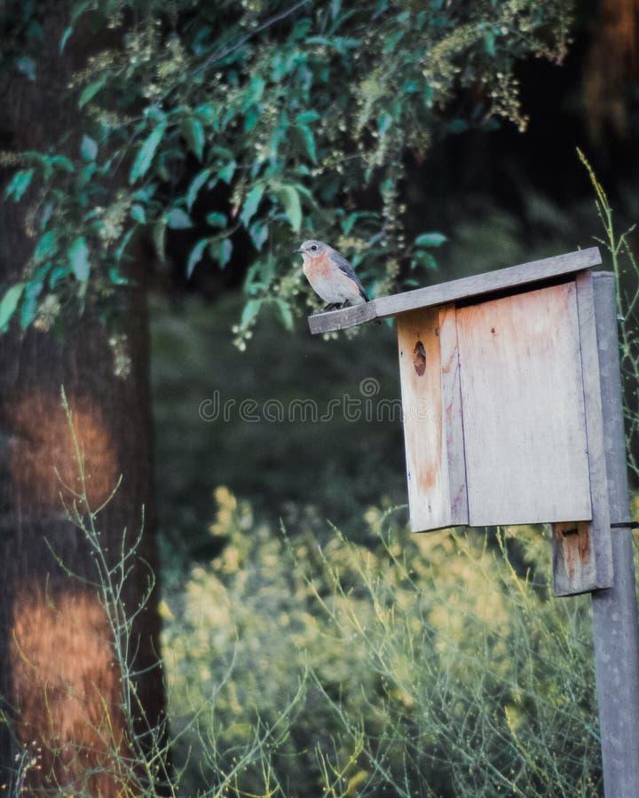 Женская восточная синяя птица сидя на ее Birdhouse стоковое изображение rf