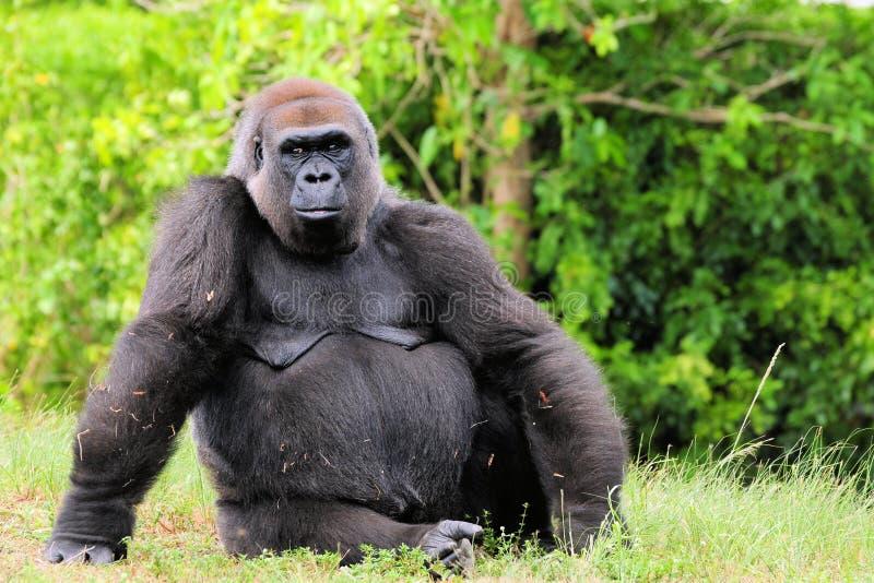 женская горилла стоковое изображение rf