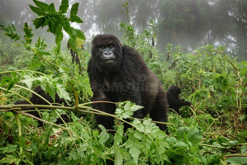 Женская горилла горы наблюдающ туристами в лесе стоковое фото rf