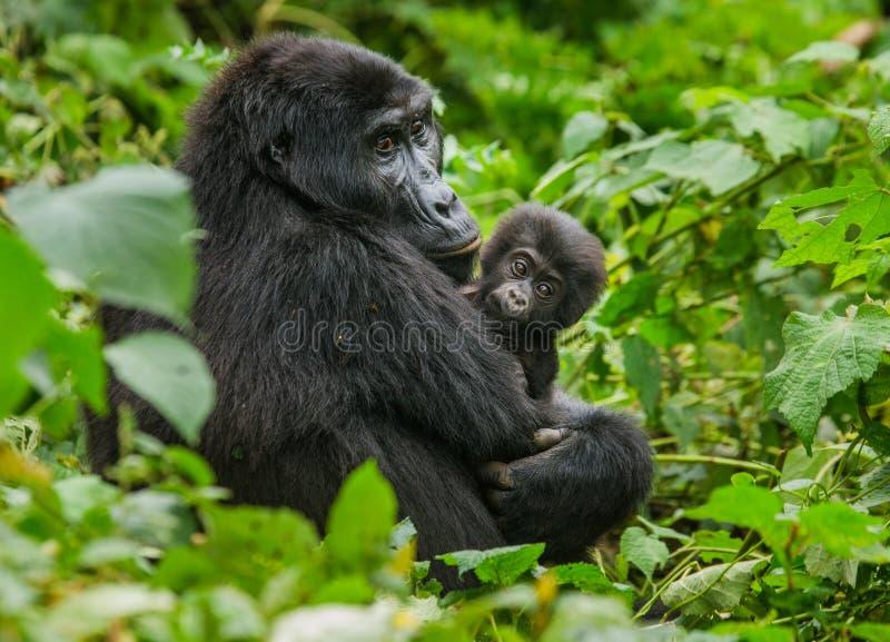 Женская горилла горы с младенцем Уганда Национальный парк леса Bwindi труднопроходимый