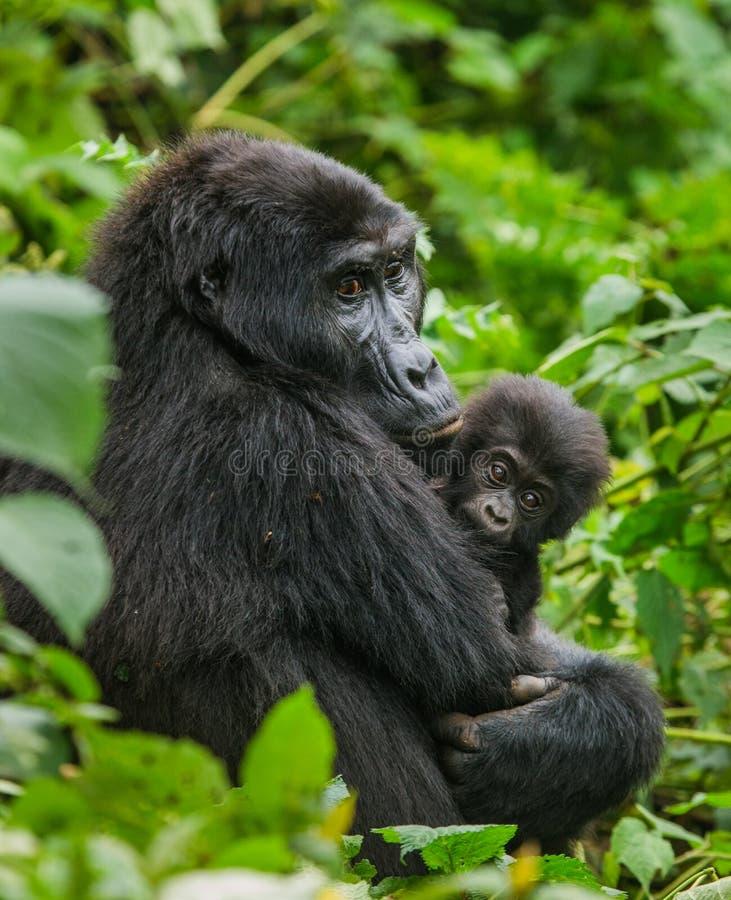 Женская горилла горы с младенцем Уганда Национальный парк леса Bwindi труднопроходимый стоковые изображения rf