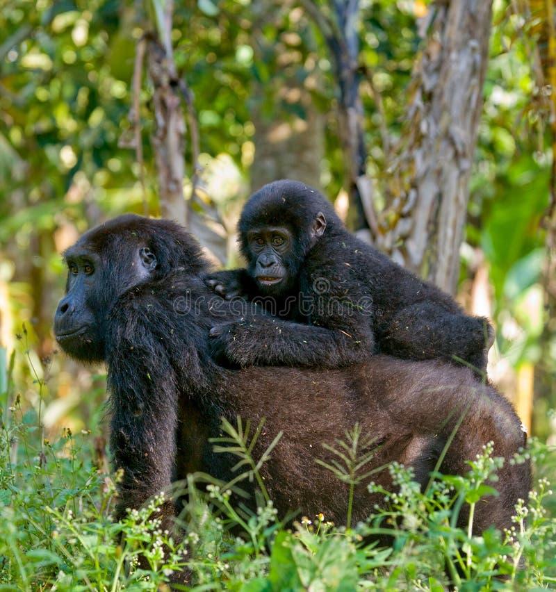 Женская горилла горы с младенцем Уганда Национальный парк леса Bwindi труднопроходимый стоковые фотографии rf
