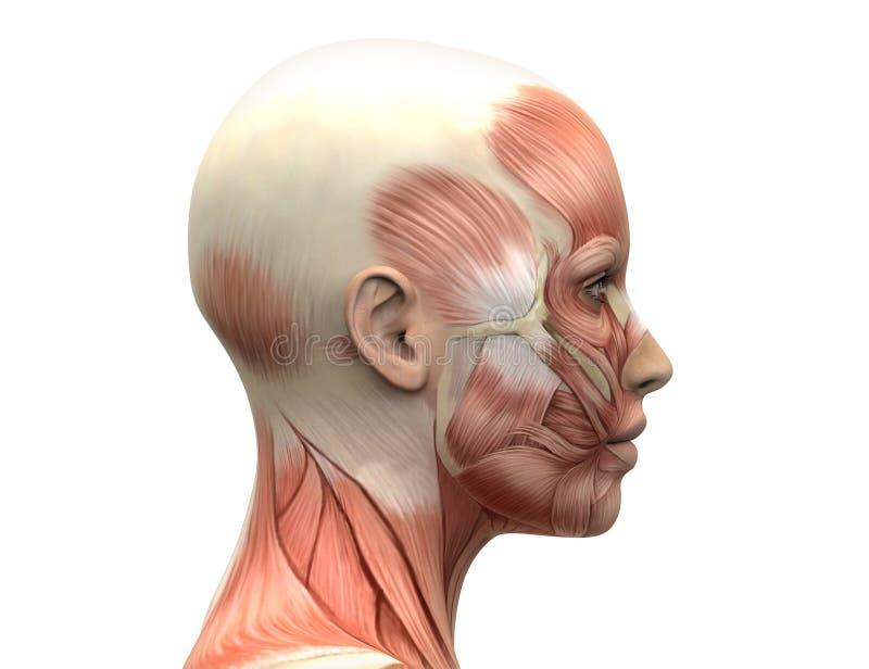 Женская голова Muscles анатомия - взгляд со стороны иллюстрация вектора