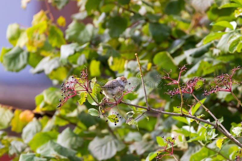 Женская евроазиатская птица Blackcap в сером цвете с коричневым головным садясь на насест f стоковые фотографии rf