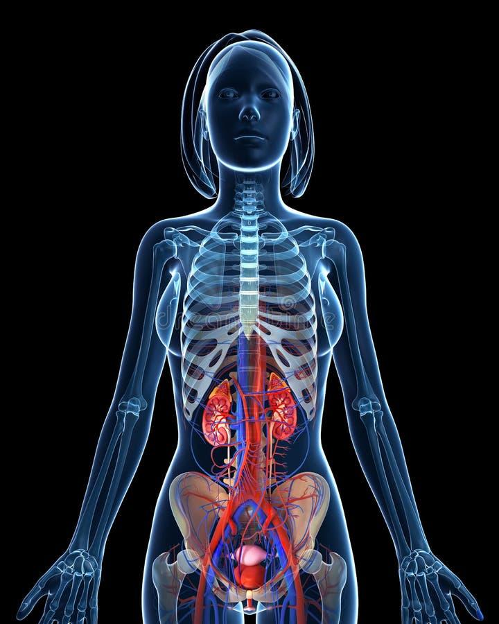 Женская каркасная мочевыделительная система с открытыми почками бесплатная иллюстрация