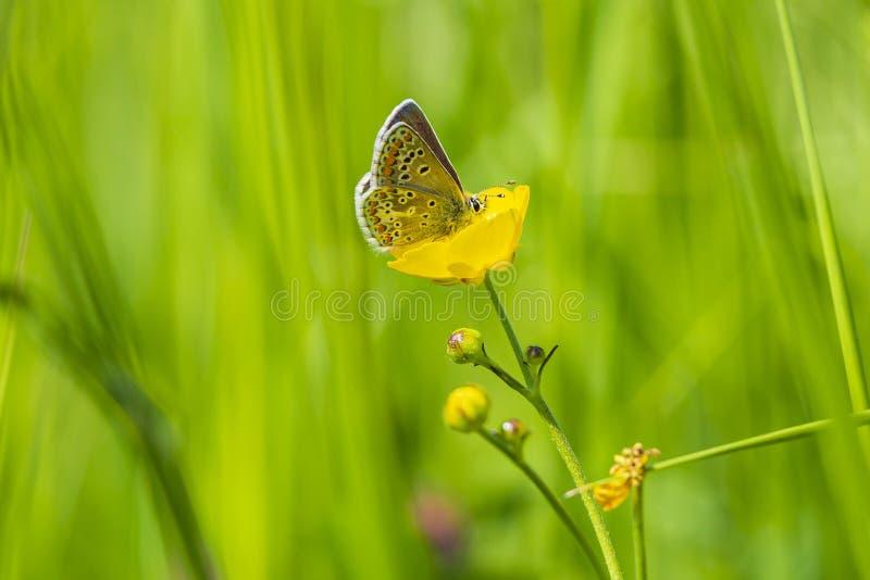Женская коричневая бабочка argus, agestis Aricia стоковые изображения rf