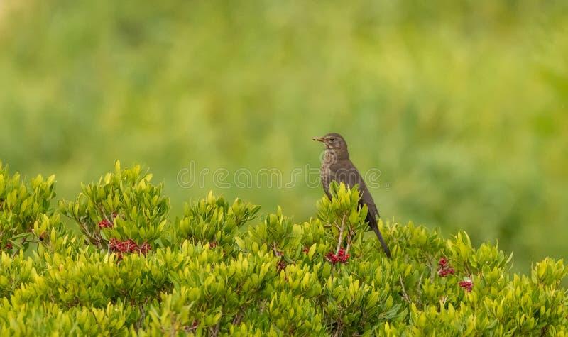 Женская кукушка в кустах стоковое фото