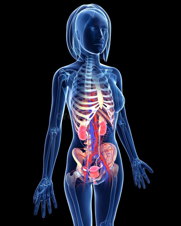 Женская мочевыделительная система в голубой форме рентгеновского снимка бесплатная иллюстрация