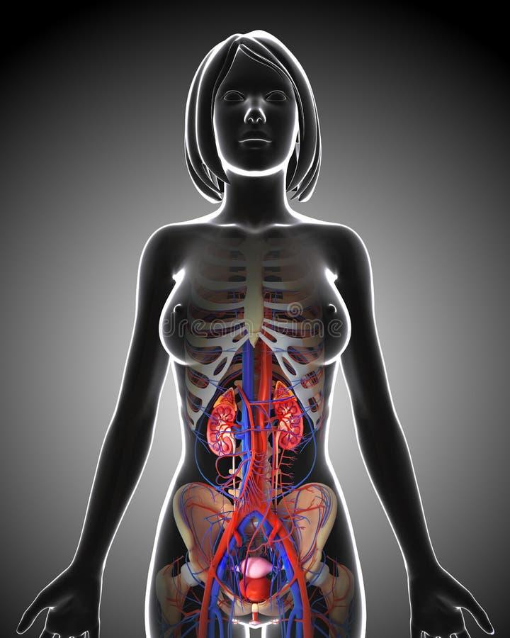 Женская мочевыделительная система в серой петле рентгеновского снимка иллюстрация вектора