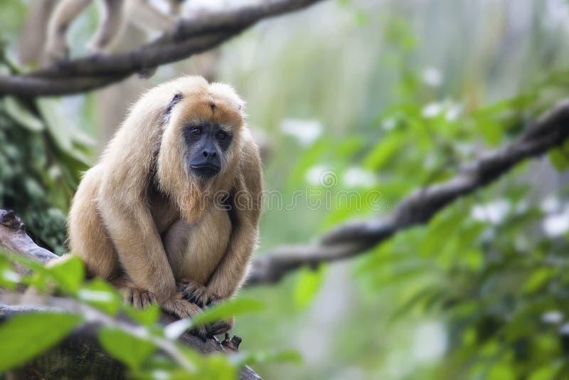 Женская обезьяна ревуна стоковые фотографии rf