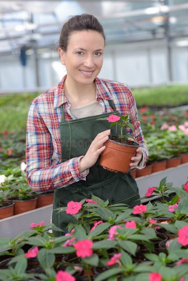 Женская работа флориста с комнатным растением в баке стоковые изображения rf