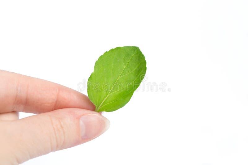 Женская рука держит лист мяты на белой предпосылке экологичность стоковое изображение