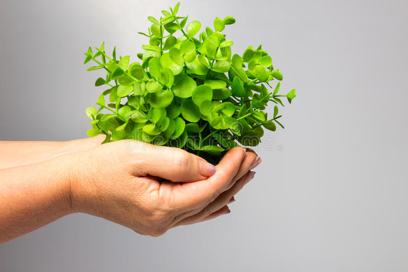 Женская рука держа новый зеленый росток стоковая фотография rf