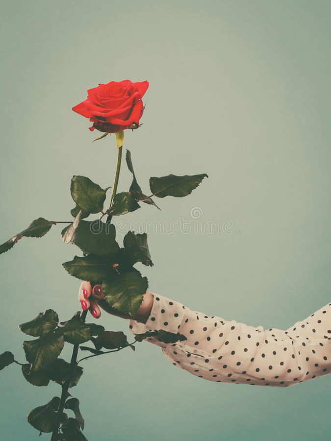 Женская рука держа цветок красной розы стоковые фото
