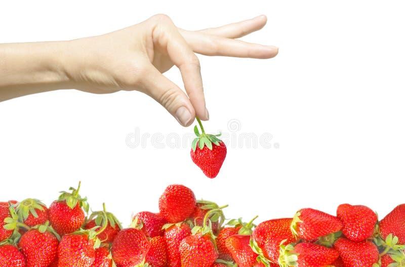 Женская рука изолированная на белой предпосылке держа одиночную ягоду в пальцах и ярких красных свежих уровне или куче клубники Э стоковая фотография