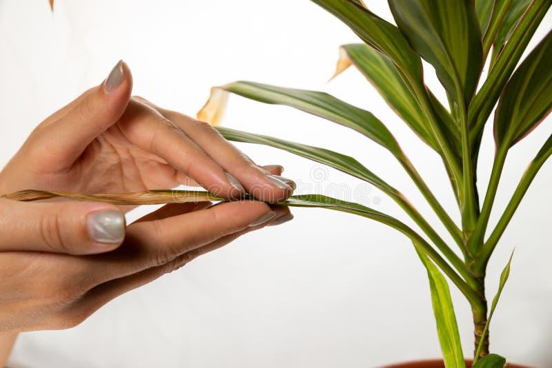 Женская рука обнимает wilthered лист зеленого растения на белой предпосылке День сострадания мира стоковое фото