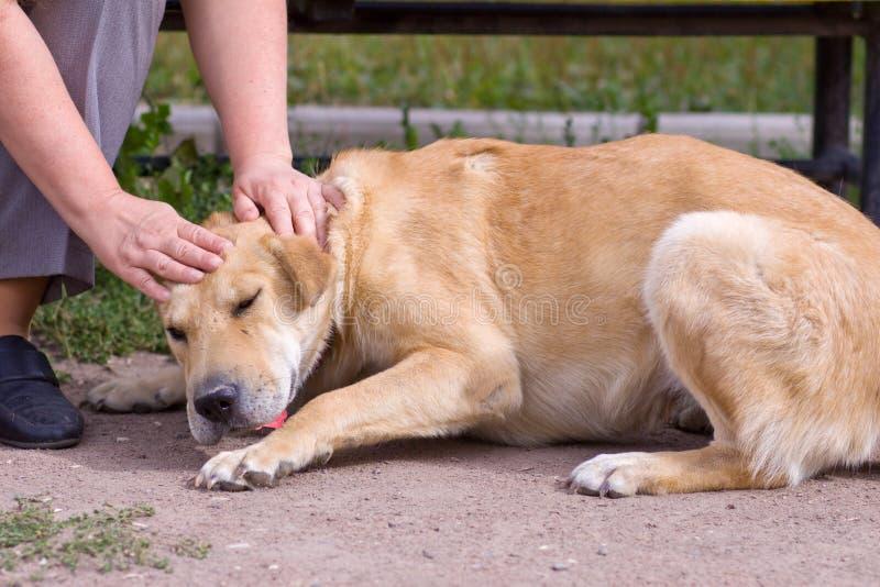 Женская рука patting голова собаки Любовь между собакой и человеком стоковое фото rf