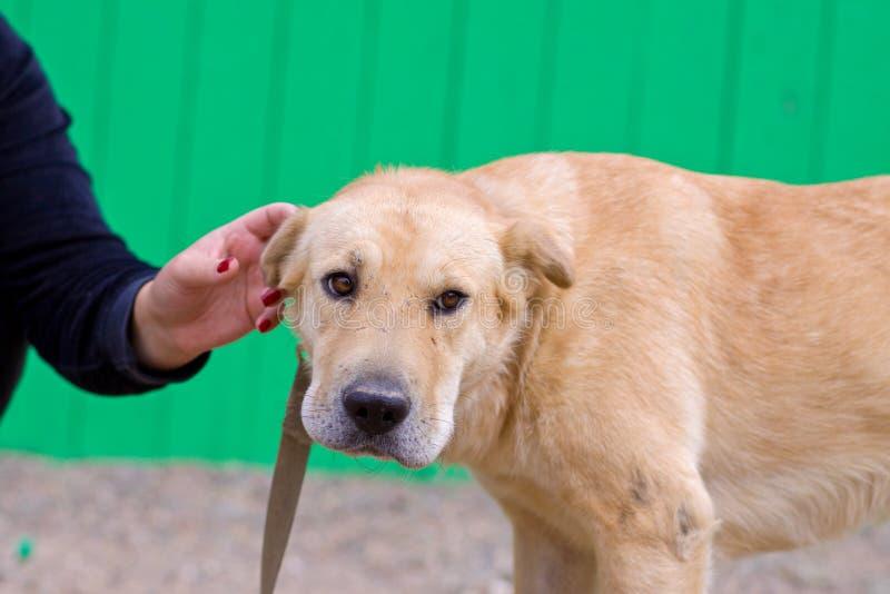Женская рука patting голова собаки Любовь между собакой и человеком стоковые фотографии rf