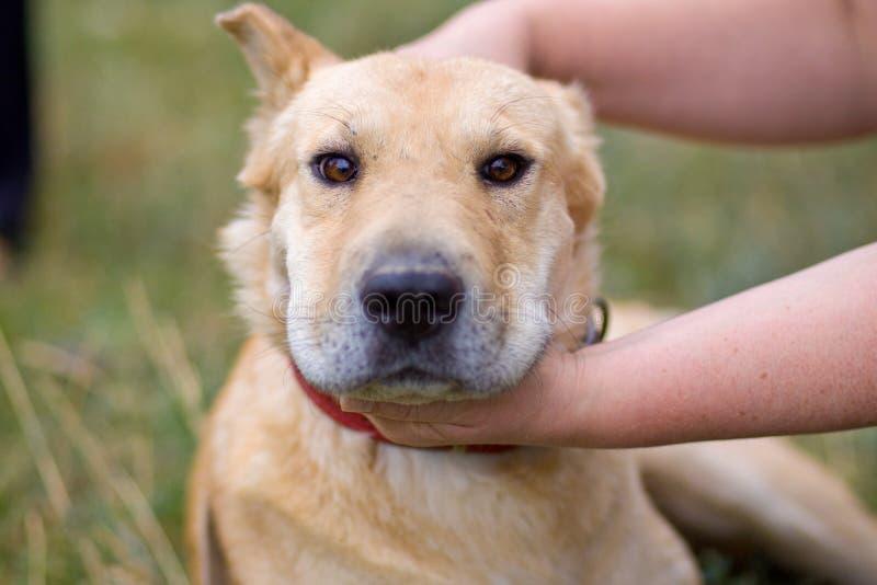 Женская рука patting голова собаки Любовь между собакой и человеком стоковое фото