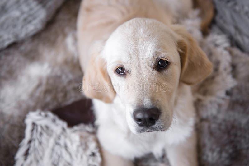 Женская собака щенка золотого retriever с невиновным взглядом в глазах стоковое фото