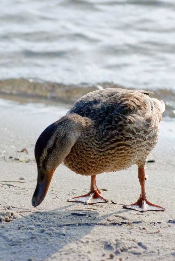 Женская утка стоя на песчаном пляже стоковые фотографии rf