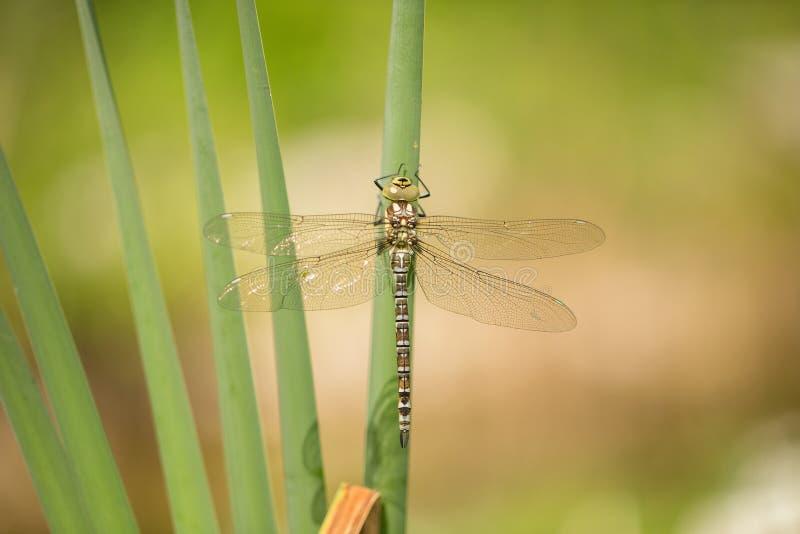 Женская южная лоточница, cyanea Aeshna, dragonfly как раз вытекла от нимф-надкожицы в чехии стоковое изображение