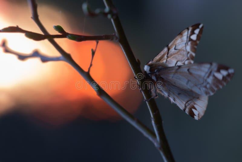 Женская kentish слава, versicolora Endromis на хворостине в заходе солнца стоковое фото