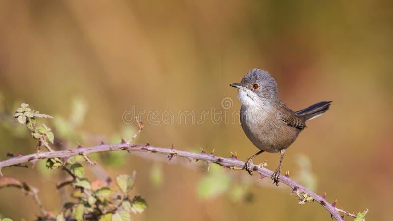 Женская Sardinian певчая птица стоковые изображения