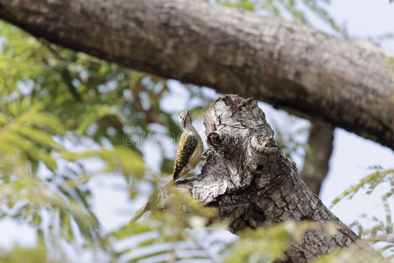 Женские кардинальные fuscescens Dendropicos woodpecker стоковые изображения rf