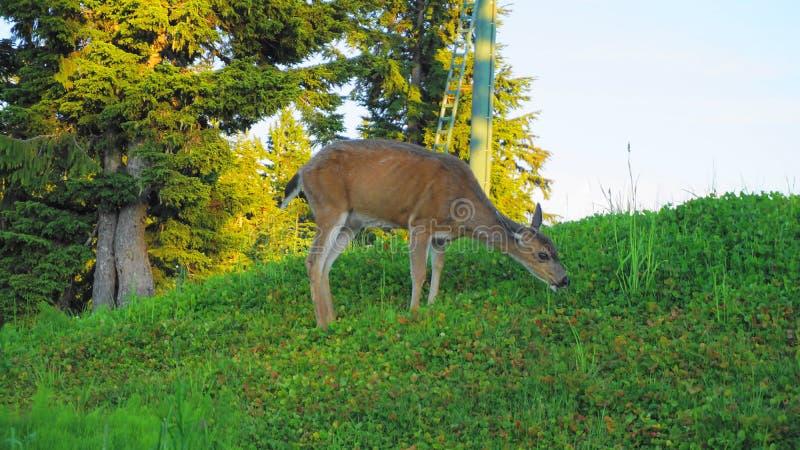 Женские красные олени пася на луге около конца леса вверх стоковые фото