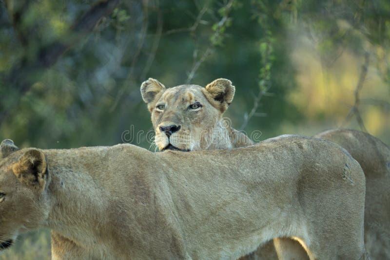 Женские львы стоковая фотография rf