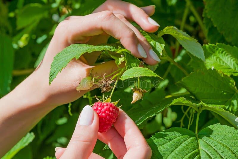 Женские пальцы общипывают зрелую ягоду красной поленики от Буша с зелеными листьями, ландшафта стоковые фото