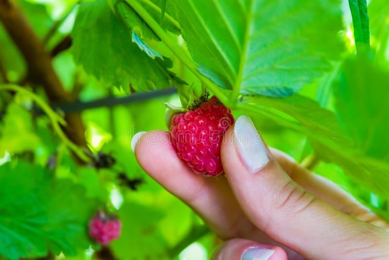 Женские пальцы общипывают зрелую ягоду красной поленики от Буша с зелеными листьями, ландшафта стоковое изображение rf