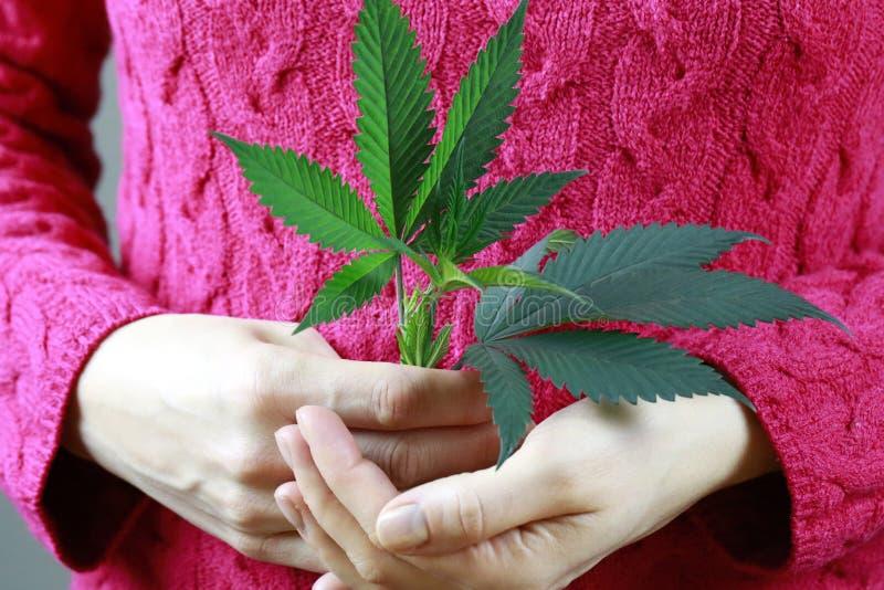 Женские руки держат лист марихуаны зеленые свежие (конопли) стоковая фотография