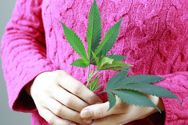 Женские руки держат лист марихуаны зеленые свежие (конопли) стоковое изображение