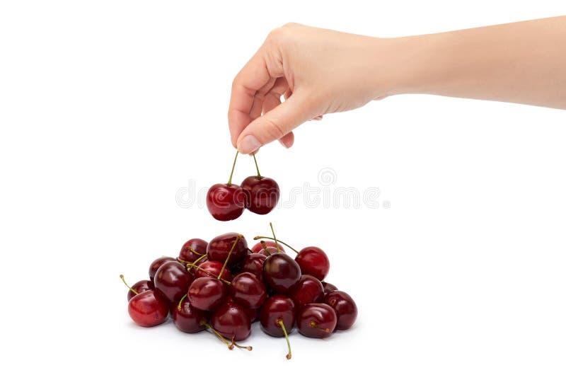 Женские руки держат красные вишни белизна изолированная предпосылкой стоковое фото