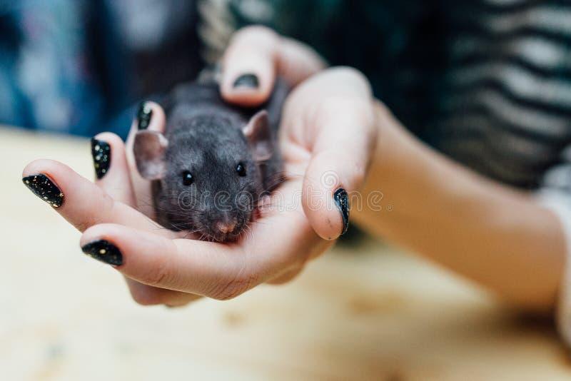 Женские руки с милой смешной курчавой крысой щенка на запачканной деревянной предпосылке, крупном плане Животные дома стоковые фотографии rf