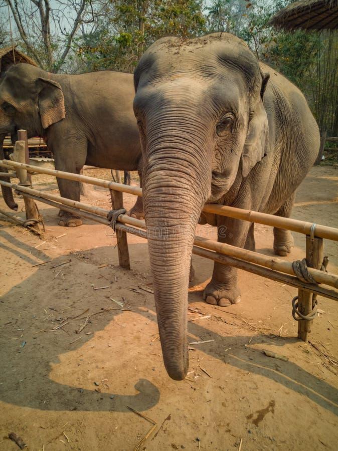 Женские слоны выглядят дружелюбными стоковые фотографии rf
