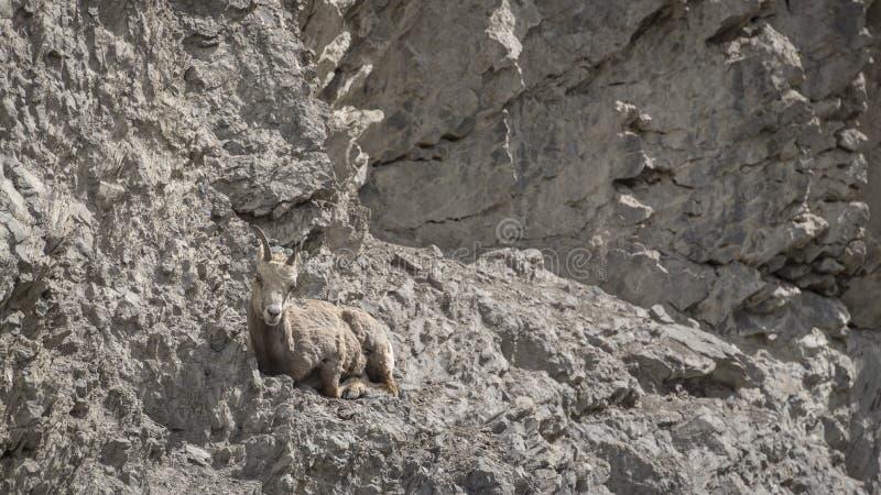 Женские снежные бараны скалистой горы & x28; Canadensis& x29 барана; стоковое фото rf