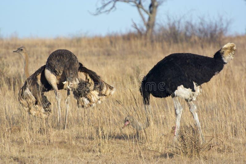 Женские страус и мужчина стоковая фотография