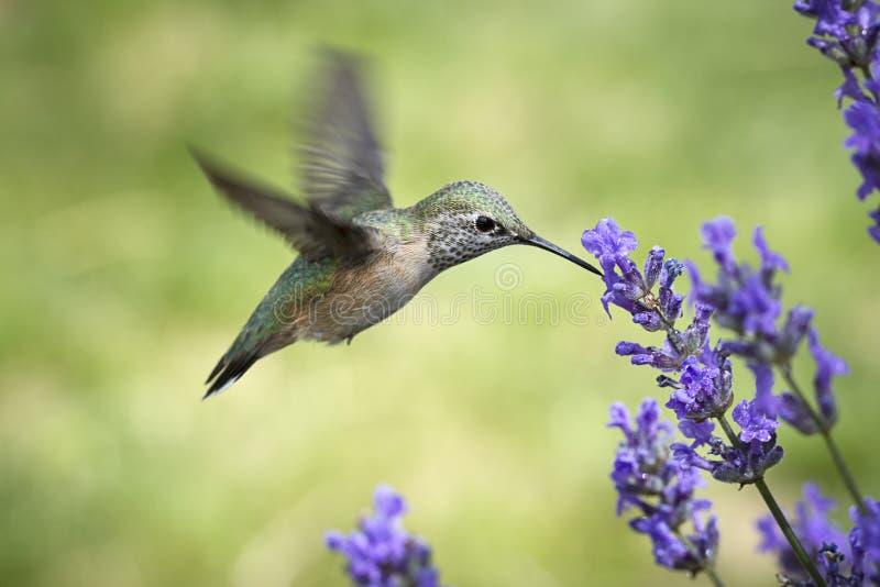 Женские rufous пить колибри от цветка стоковые изображения rf