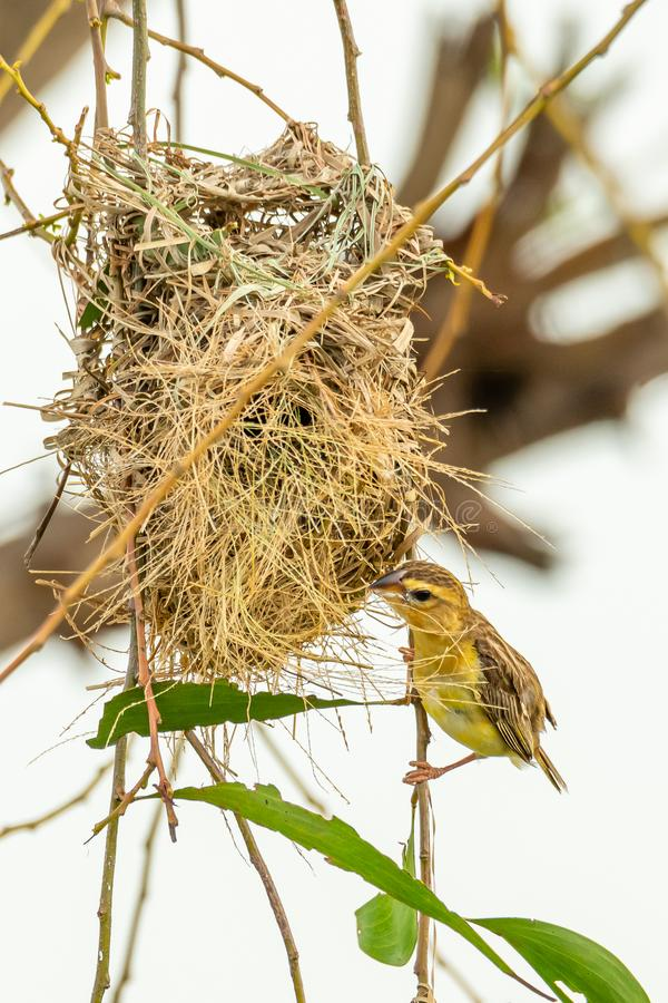 Женский азиатский золотой ткач садясь на насест около своего гнезда во время порождать - сезон стоковые фото
