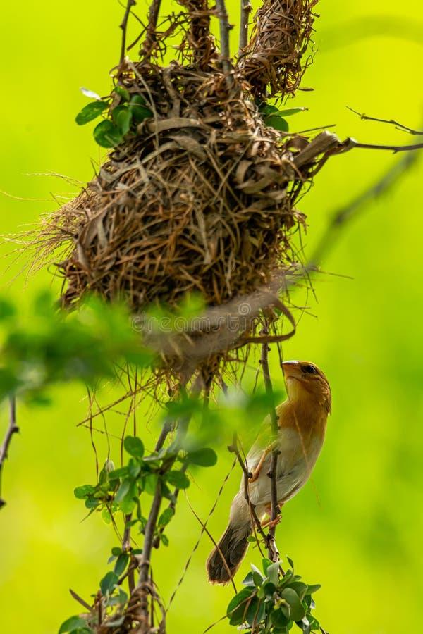 Женский азиатский золотой ткач садясь на насест около своего гнезда во время порождать - сезон стоковая фотография rf