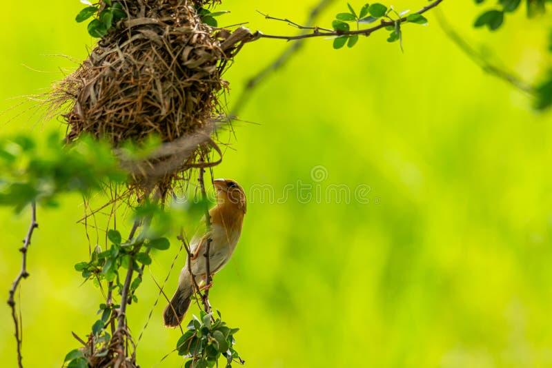 Женский азиатский золотой ткач садясь на насест около своего гнезда во время порождать - сезон стоковые фотографии rf
