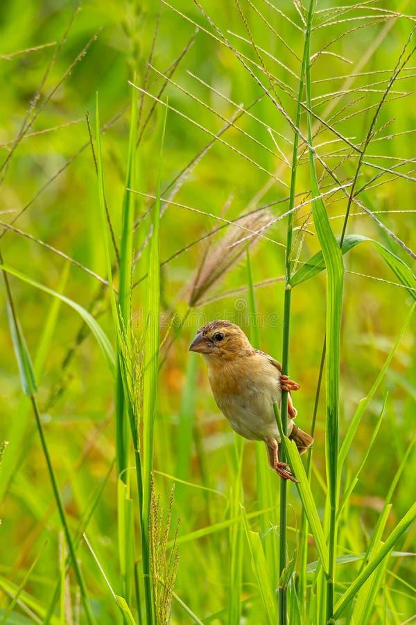 Женский азиатский золотой ткач садясь на насест на стержне травы в рисовых полях стоковые изображения rf