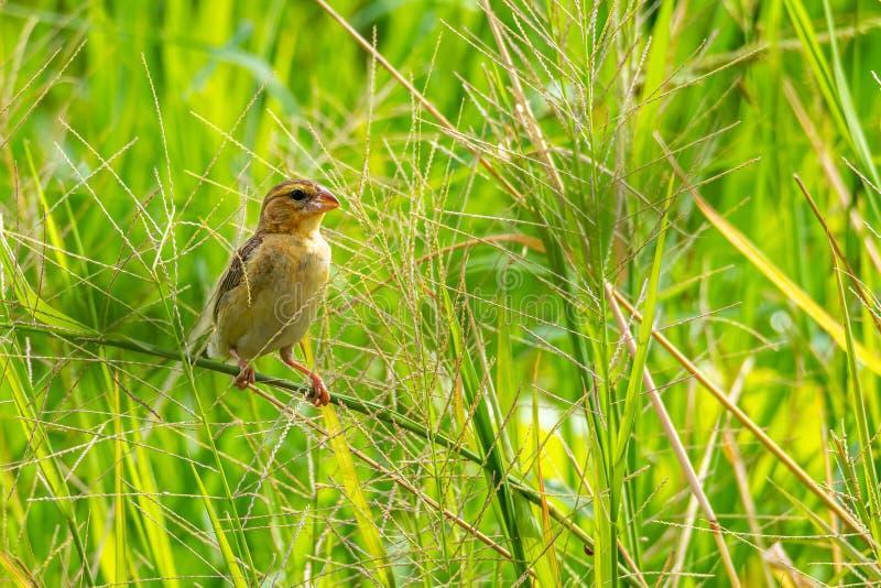 Женский азиатский золотой ткач садясь на насест на стержне травы в рисовых полях стоковые изображения