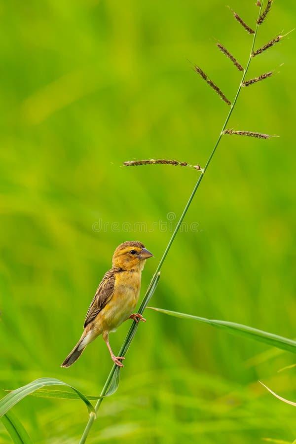 Женский азиатский золотой ткач садясь на насест на черенок травы смотря в расстояние стоковые фотографии rf